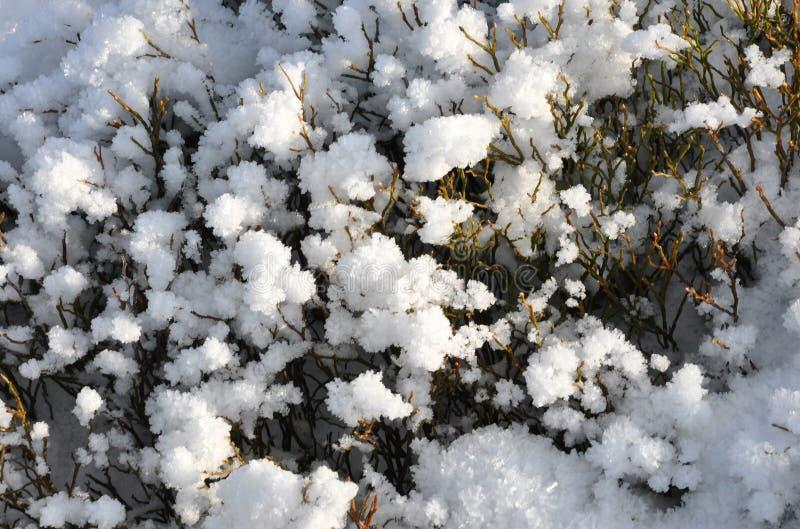 Myrtillus do Vaccinium fotos de stock