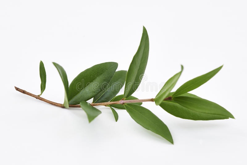 Myrtle λεμονιών φύλλα φυτού στοκ εικόνα