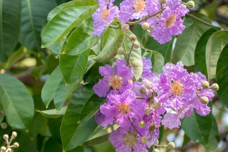 Myrtle υφάσματος κρεπ βασιλισσών λουλούδια ή λουλούδι της βασίλισσας, Lagerstroemia στοκ εικόνες με δικαίωμα ελεύθερης χρήσης