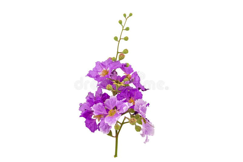 Myrtle υφάσματος κρεπ βασιλισσών λουλούδια ή λουλούδι της βασίλισσας, Lagerstroemia ine στοκ εικόνα