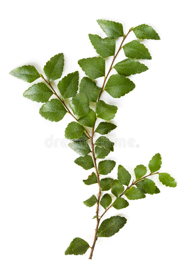 Download Myrtle Beech Leaves stock photo. Image of twigs, beech - 24363138