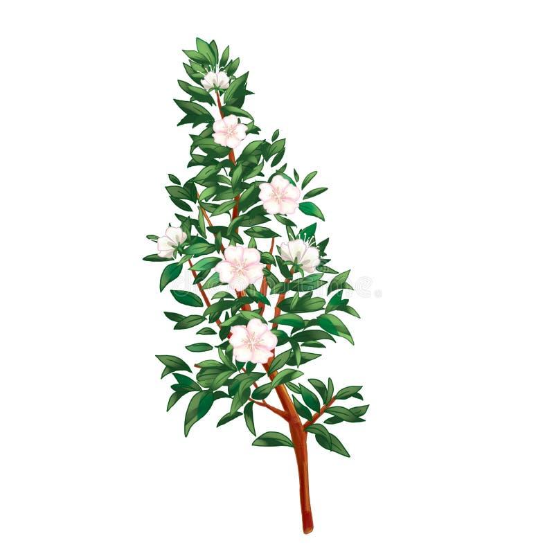 Myrtle branch on white. Myrtle branch with flowers on white background, cut out. Digital illustration. Clip art. Myrtus, Common Myrtle, Hadas tree (Myrtus vector illustration