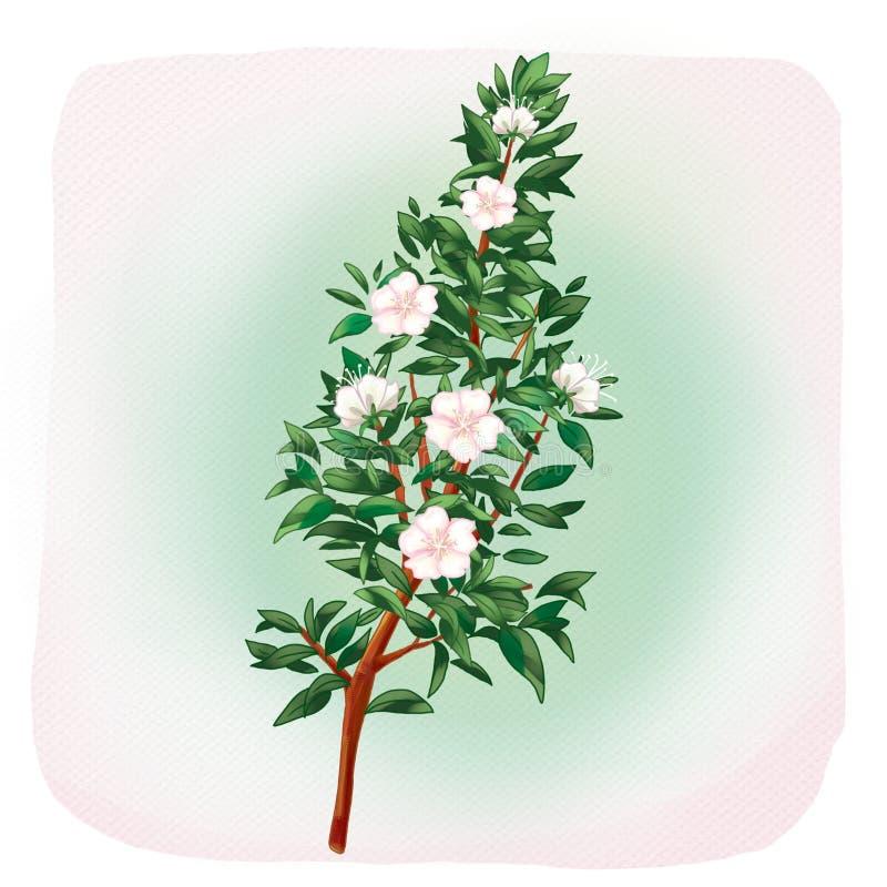 Myrtle flowers myrtus tree. White Myrtle flowers on light color paper background. Water color. Digital illustration myrtle plant, myrtus, myrtle tree, herb and vector illustration