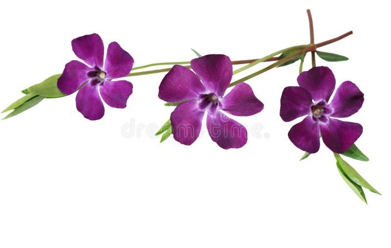 Myrtle Periwinkle Minor Vinca. Three purple myrtle periwinkle minor vinca flowers royalty free stock photography
