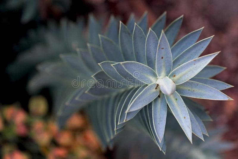 Myrtle spurge, blue spurge, Euphorbia myrsinites. Euphorbia myrsinites, the myrtle spurge, blue spurge, or broad-leaved glaucous-spurge, is a succulent species royalty free stock image