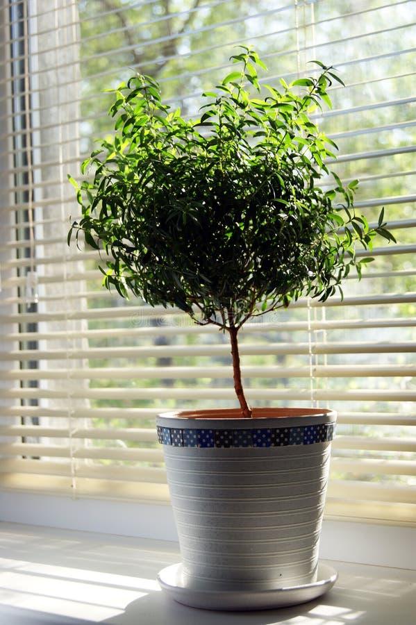 Myrtle tree stock image