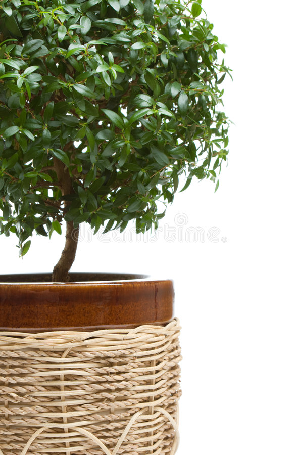 Myrtle tree. Beautiful myrtle tree on windowsill stock image
