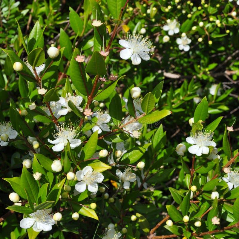 Free Myrtus Royalty Free Stock Photography - 15495077