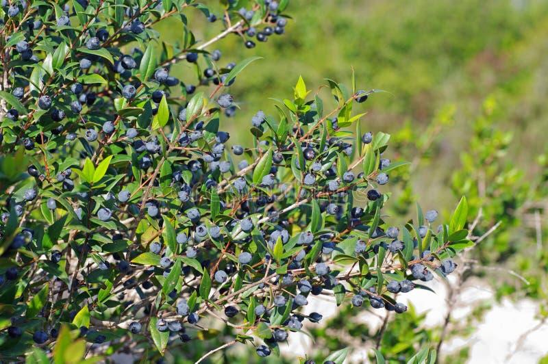 Myrtus communis, a murta comum, Myrtaceae da família foto de stock