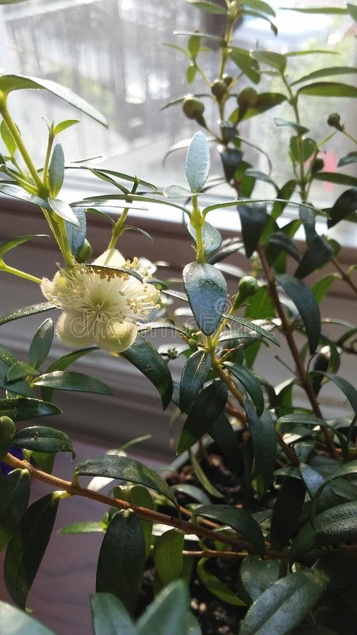 Myrtus Plant Blossoming in Bright Sunrise Light in Front of Window. Myrtus Plant Blossoming in Bright Sunrise Light in Front of Open Window in Jersey City, NJ royalty free stock images