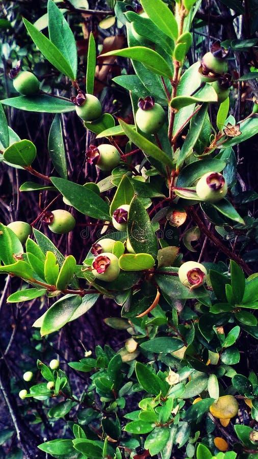 Myrtus wildflower zdjęcia stock