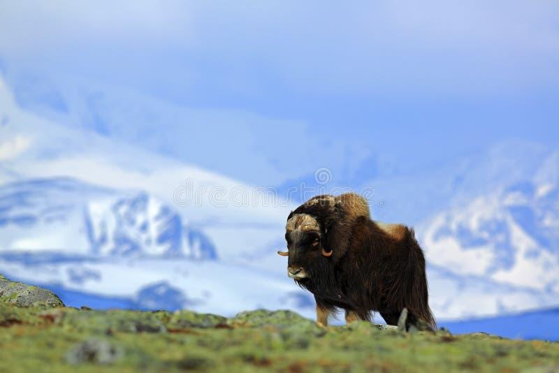 Myskoxe, Ovibosmoschatus, med berget och insnöat bakgrunden, stort djur i naturlivsmiljön, Grönland royaltyfria foton