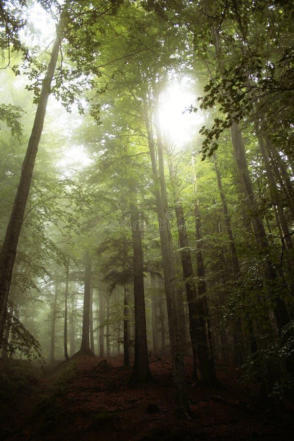 Myst en el bosque fotografía de archivo libre de regalías