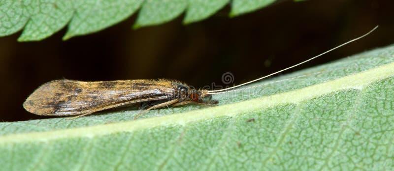 Mystacides longicornis caddisfly royalty free stock photography
