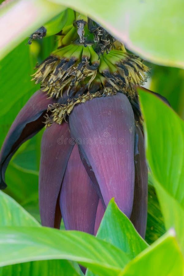 Mysteriöse Blumenblätter der Pflaume färben das Verstecken zwischen den grünen Blättern der Blume Unten gelehnt wie ein Schwergew stockfotografie