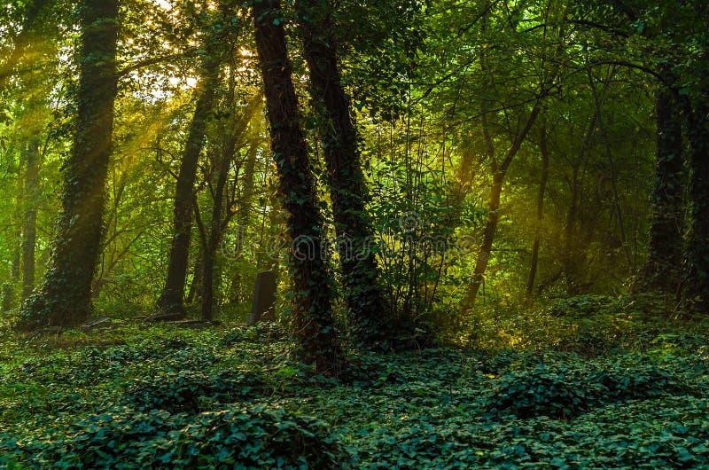 Mysteriöser Efeuwaldgarten bei dem Sonnenaufgang lizenzfreies stockfoto
