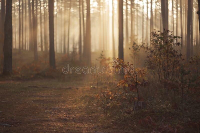 Mysteriöser nebeliger Morgen im belaubten Wald in Latvija stockbild