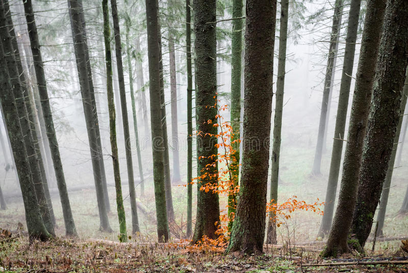Mysterious fog in the green forest stock photos
