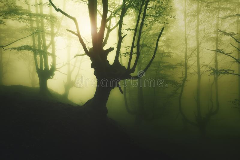 Mysterious foggy forest at spring. Mysterious foggy forest at the spring royalty free stock photography