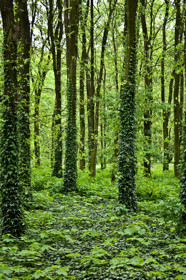 Download Mysterious forest stock image. Image of oxygen, foliage - 10742193