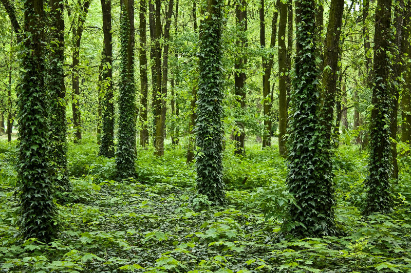 Download Mysterious forest stock image. Image of natural, harmony - 10742209