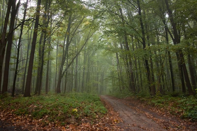 Mysterious forest road on a misty autumn morning, typical foggy October weather, yellow wet fallen leaves on the ground. Eco tourism active rest concept stock image