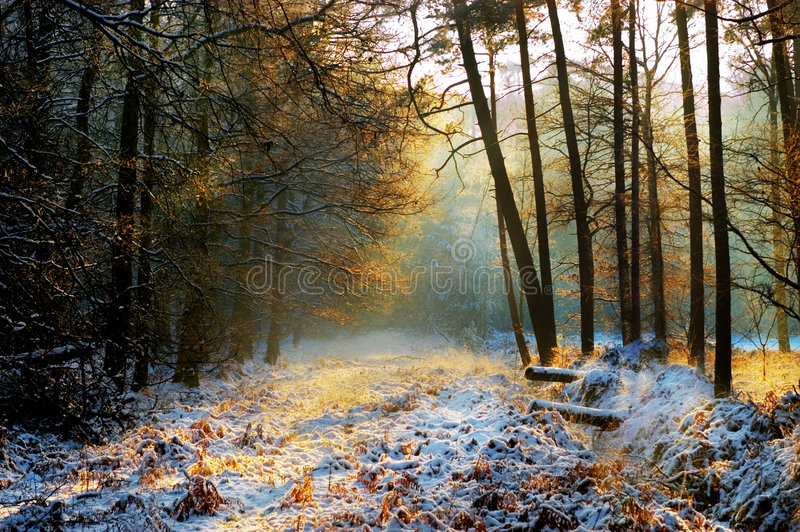 Mysterious forest in winter. Forest in winter with mysterious light and snow royalty free stock photo