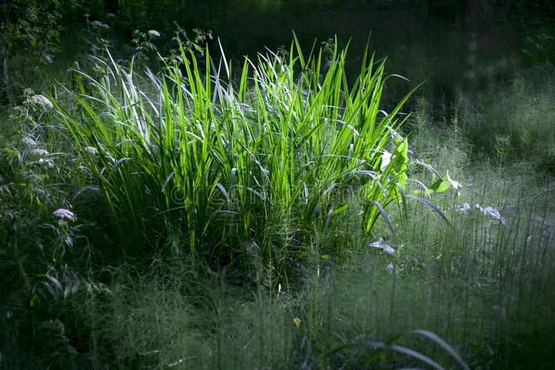 Mysterious Grass Royalty Free Stock Photography