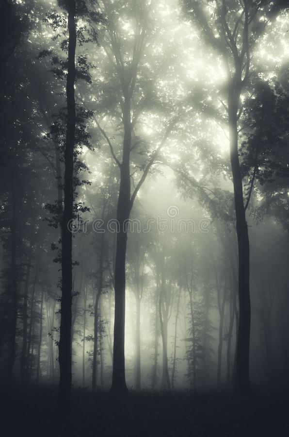 Mysterious Halloween eerie forest with fog royalty free stock image