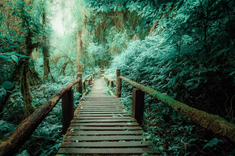 Mysterious landscape of foggy forest with wooden bridge. Runs through dense foliage. Surreal beauty of exotic trees, thicket of shrubs at tropical jungles royalty free stock image