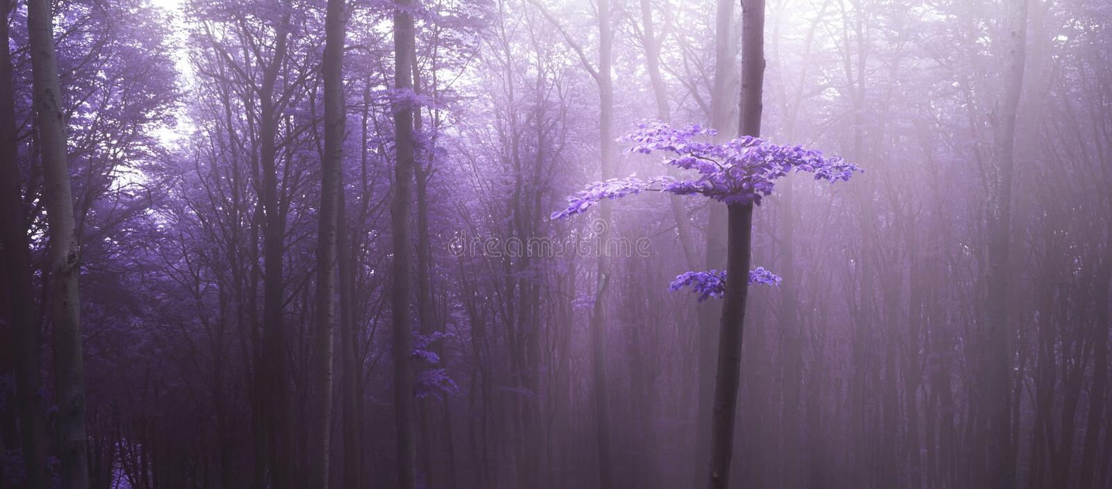 Mysterious light over tree in purple fog in the forest stock photography