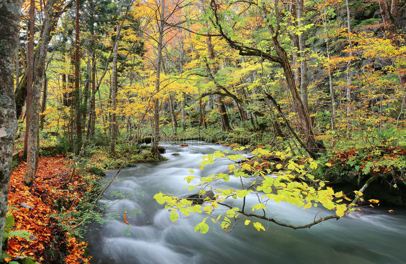 Mysterious Oirase Stream in the autumn forest. Of Towada Hachimantai National Park in Aomori Japan (Passion and bright light version stock photo