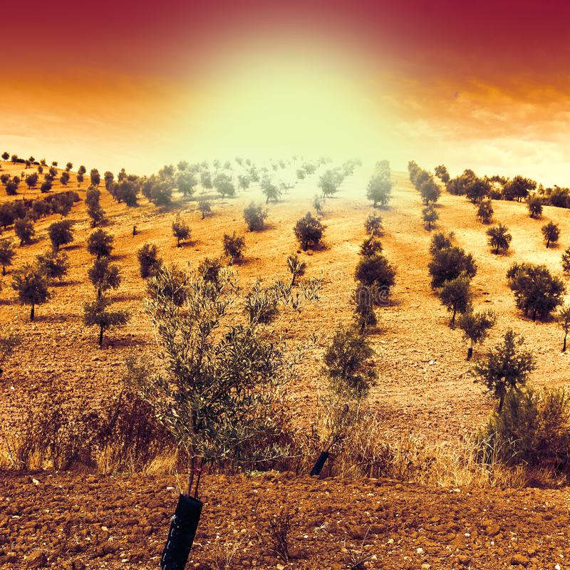 Mysterious olive grove in Spain. Olive grove in Spain at sunrise. Breathtaking landscape and nature of the Iberian Peninsula stock image