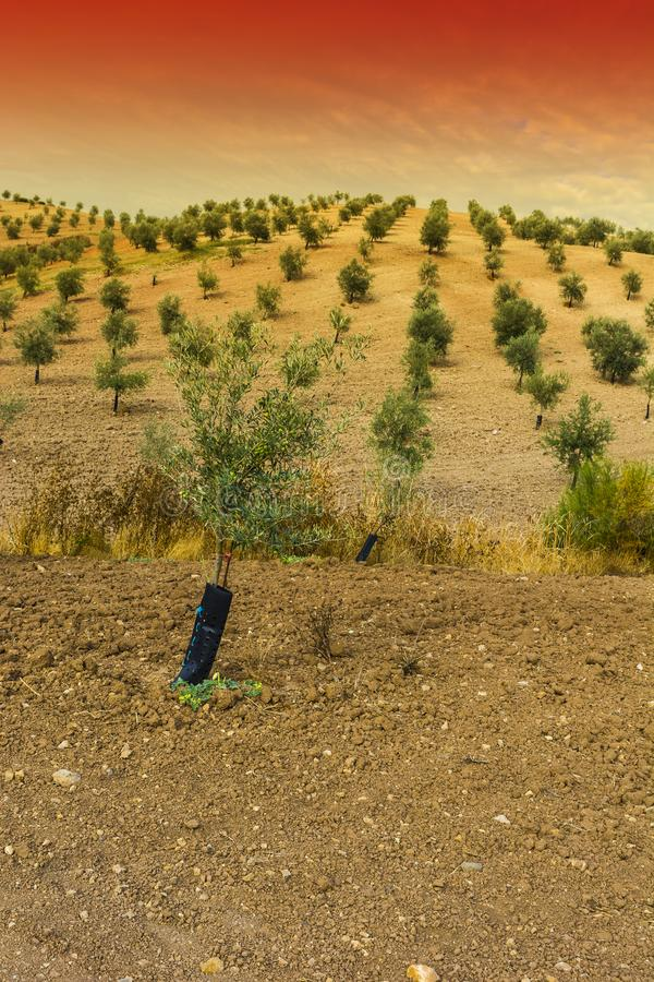 Mysterious olive grove in Spain. Olive grove in Spain at sunrise. Breathtaking landscape and nature of the Iberian Peninsula royalty free stock photography