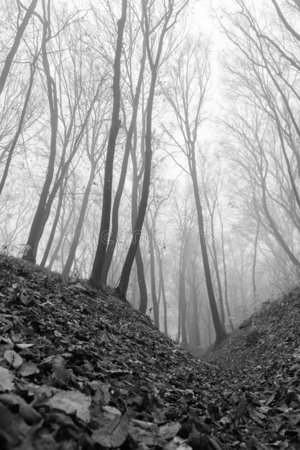A mysterious and quiet day in the forest with fog. Autumn weather, damp and low temperature. Fairy or horror wallpaper. royalty free stock photography