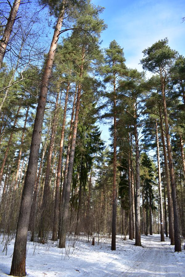 Mysterious spring coniferous forest and blue sky royalty free stock photo