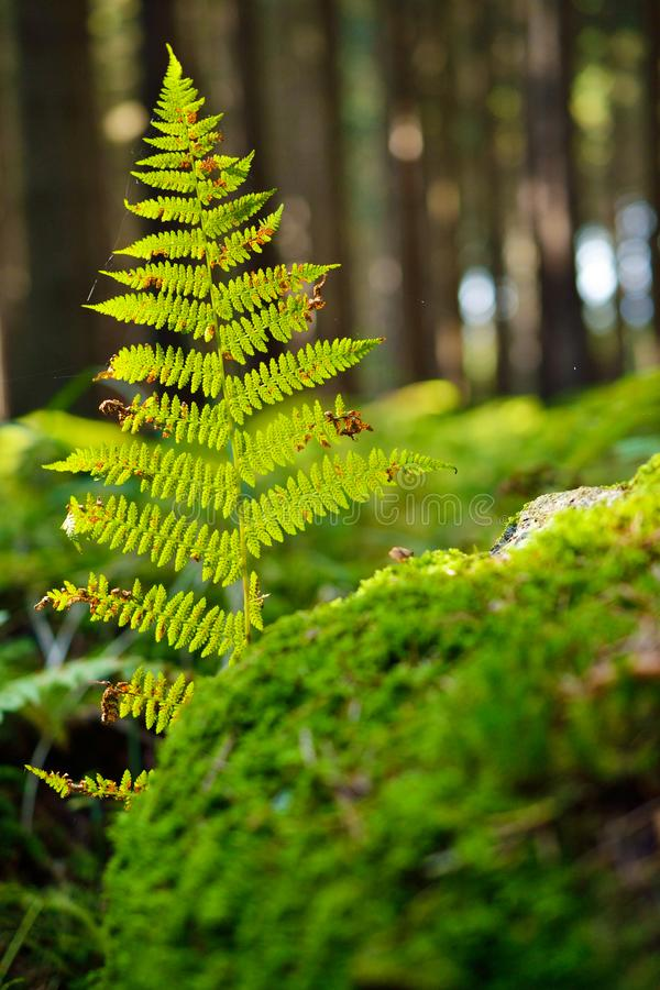 The mystery of bracken forest. Green bracken stock photography