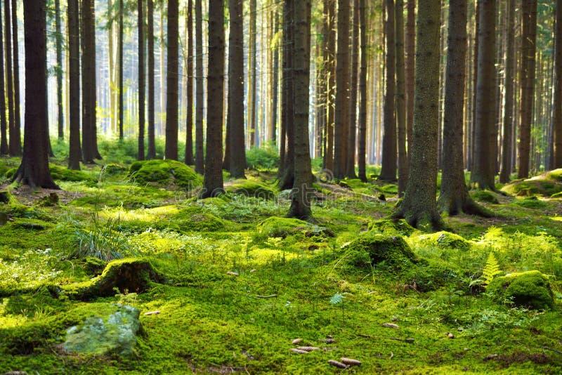 The mystery of bracken forest. Green bracken. woodland stock images