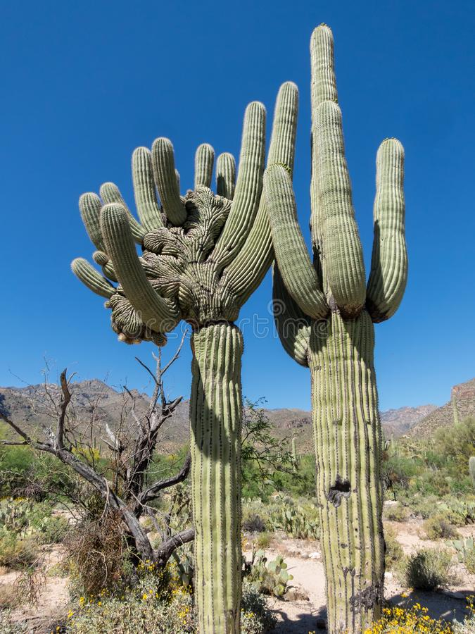 A mystery, the crested Saguaro stock photography