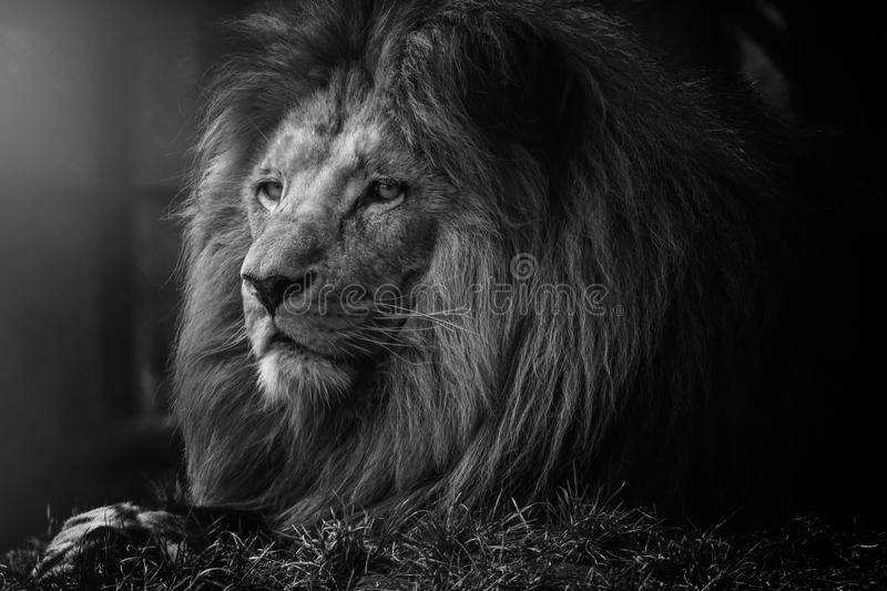 The mystery of the lion. Back and white mysterious lion that lies stock photos