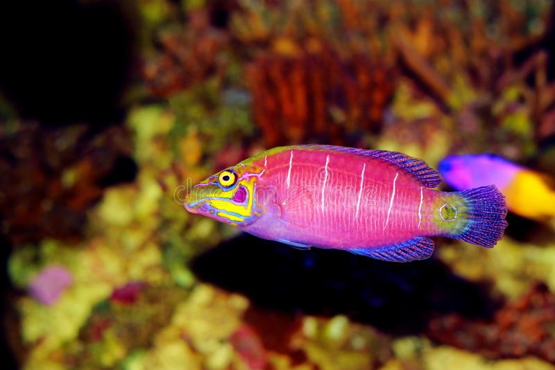 Mystery Wrasse - Pseudocheilinus ocellatus. The Mystery Wrasse, sometimes referred to as the Whitebarred Wrasse or Fivebarred Wrasse has yellow, blue, and purple stock photo