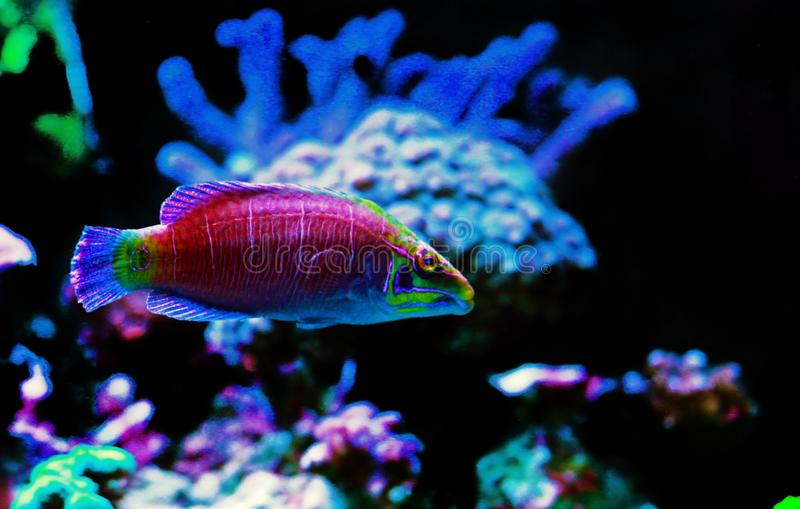 Mystery Wrasse - Pseudocheilinus ocellatus. The Mystery Wrasse, sometimes referred to as the Whitebarred Wrasse or Fivebarred Wrasse has yellow, blue, and purple stock images