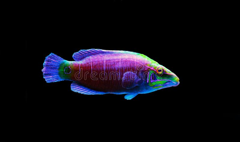 Mystery Wrasse - Pseudocheilinus ocellatus. The Mystery Wrasse, sometimes referred to as the Whitebarred Wrasse or Fivebarred Wrasse has yellow, blue, and purple stock image