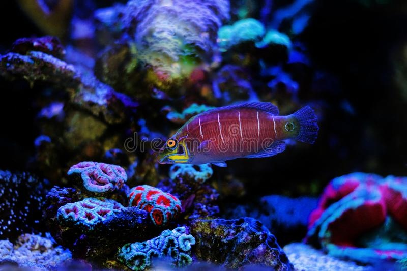 Mystery Wrasse - Pseudocheilinus ocellatus. The Mystery Wrasse, sometimes referred to as the Whitebarred Wrasse or Fivebarred Wrasse has yellow, blue, and purple royalty free stock images