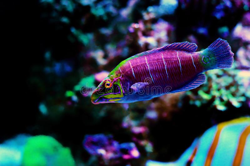 Mystery Wrasse - Pseudocheilinus ocellatus. The Mystery Wrasse, sometimes referred to as the Whitebarred Wrasse or Fivebarred Wrasse has yellow, blue, and purple royalty free stock photo