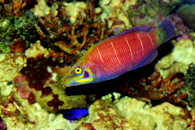 Mystery Wrasse - Pseudocheilinus ocellatus. The Mystery Wrasse, sometimes referred to as the Whitebarred Wrasse or Fivebarred Wrasse has yellow, blue, and purple royalty free stock photos