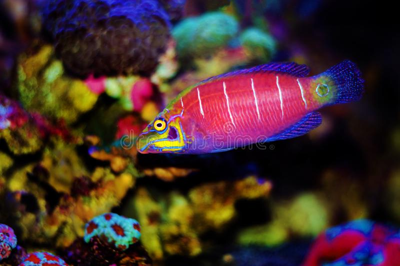 Mystery Wrasse - Pseudocheilinus ocellatus. The Mystery Wrasse, sometimes referred to as the Whitebarred Wrasse or Fivebarred Wrasse has yellow, blue, and purple royalty free stock photography