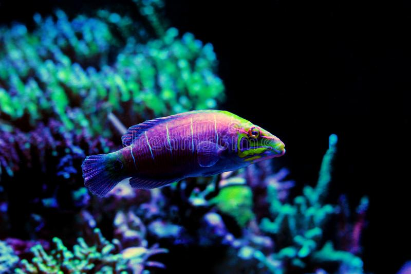 Mystery Wrasse - Pseudocheilinus ocellatus. The Mystery Wrasse, sometimes referred to as the Whitebarred Wrasse or Fivebarred Wrasse has yellow, blue, and purple stock photography