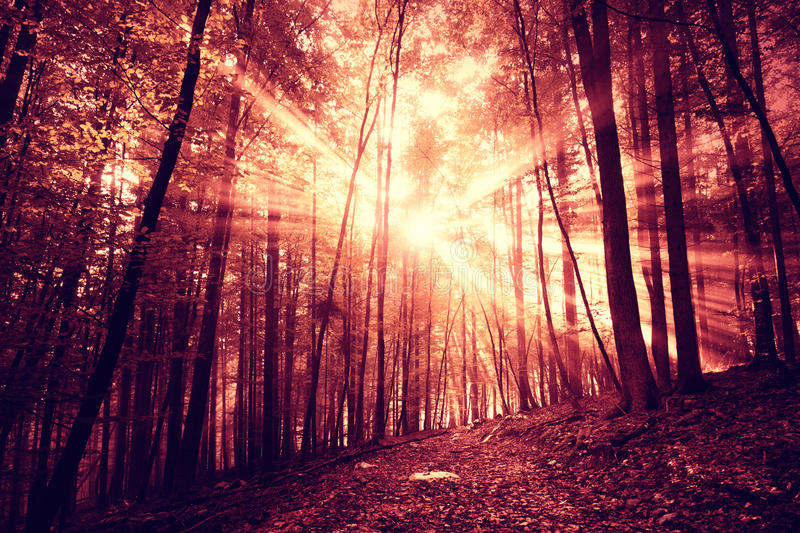Mystic dark red saturated foggy forest. Mystic dark red saturated sunlight in foggy forest with path royalty free stock photo