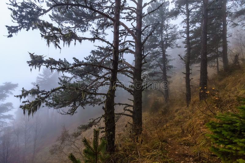 Mystic dramatic autumn Caucasus mountain pine tree forest in the fog at dusk. Scenic landscape royalty free stock images